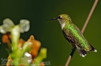 Ruby Throated Hummingbird (15)