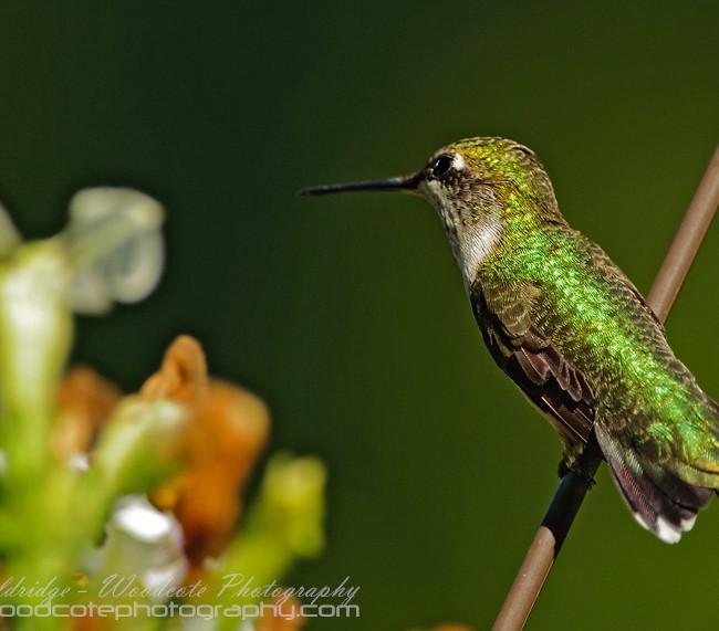 Ruby Throated Hummingbird (15)