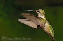 Ruby Throated Hummingbird (14)
