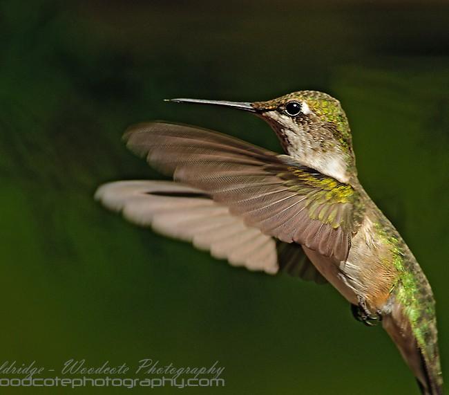 Ruby Throated Hummingbird (14)