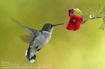 Ruby Throated Hummingbird (13)
