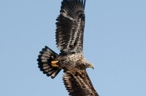 Juvenile Bald Eagle catching a thermal