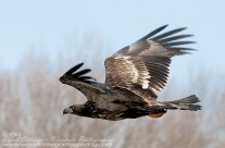 Bald Eagle – juvenile – swoops low over the water