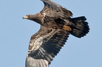 Bald Eagle – juvenile in flight