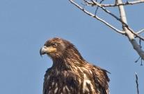 Juvenile Bald Eagle surveying its feeding ground