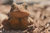 Fowler's Toad – eye to eye