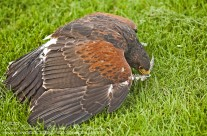 Harris Hawk protecting its prey