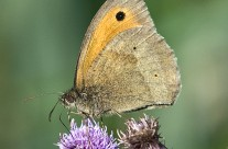 Meadow Brown Butterfly on thistle flower