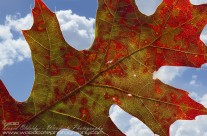 Coloured Oak
