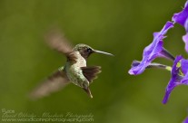 Ruby Throated Hummingbird (12)