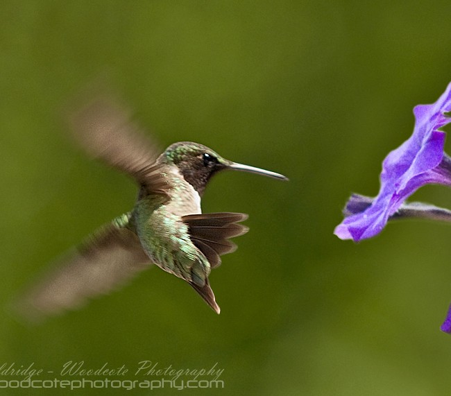 Ruby Throated Hummingbird (12)