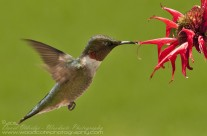 Ruby Throated Hummingbird (9)