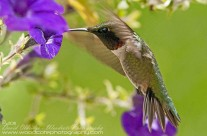 Ruby Throated Hummingbird (10)