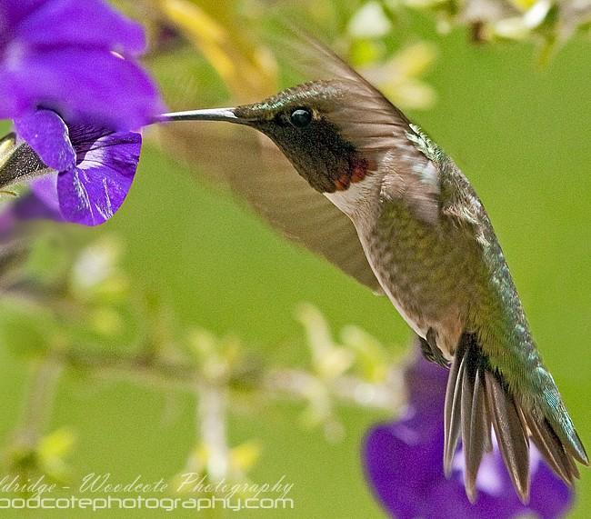 Ruby Throated Hummingbird (10)