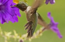Ruby Throated Hummingbird (11)