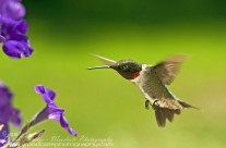 Ruby Throated Hummingbird (7)