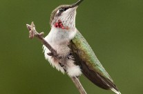 Ruby Throated Hummingbird (6)