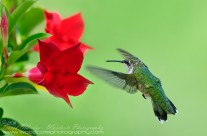 Ruby Throated Hummingbird (3)