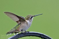 Ruby Throated Hummingbird (2)