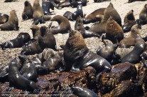 Dominant male Cape Fur Seals holding court