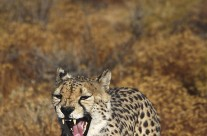 Speed freak – the Cheetah