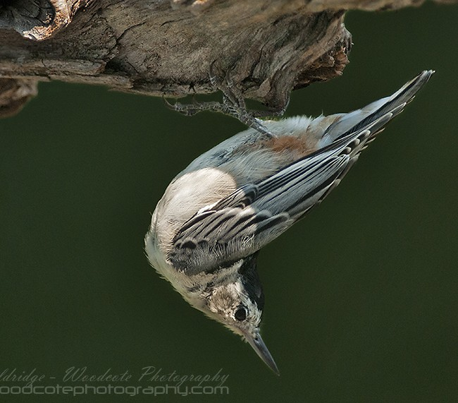 Topsy turvy world of a White Breasted Nuthatch…