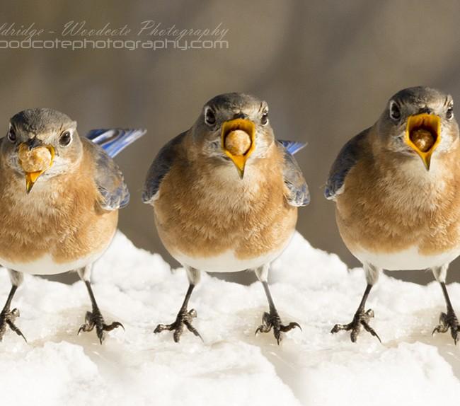 Bluebird