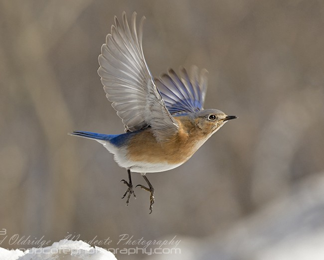 Bluebird flying 2