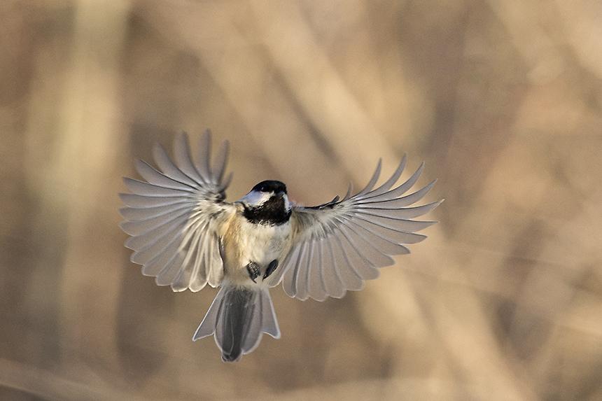 Chickadee landing - photo#24