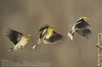 American Goldfinch in sequence