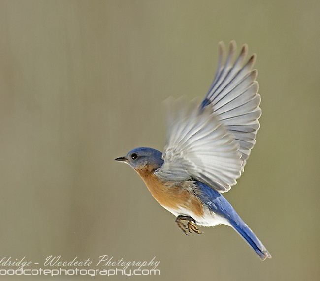 Bluebird flying 1
