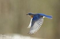 Bluebird in flight