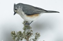 Tufted Titmouse Gallery