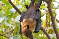 Fruit Bat – Flying Fox