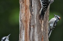 Woodpecker Island!