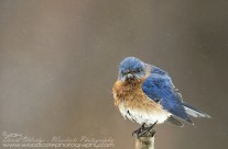 Bedraggled Bluebird