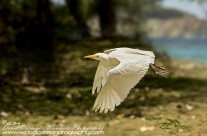 Cattle Egret – Mustique Gallery