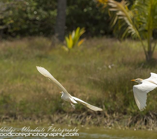 Cattle Egret – Mustique
