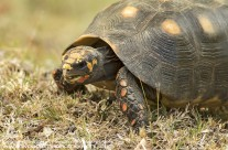 Red Legged Tortoise – Mustique