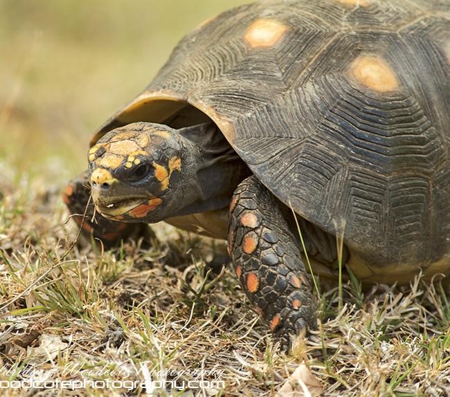 Red Legged Tortoise – Mustique