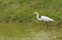 Great Egret – Mustique