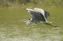 Great Blue Heron – Mustique Gallery