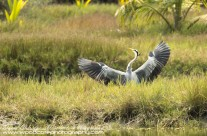 Great Blue Heron – Mustique