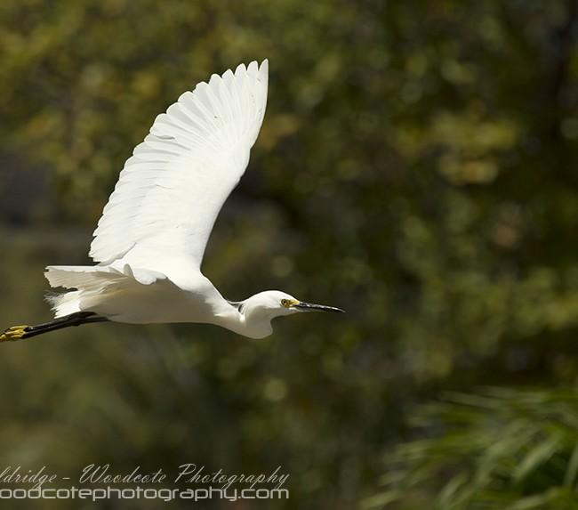 Little Egret – Mustique