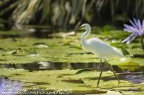 Snowy Egret – Mustique