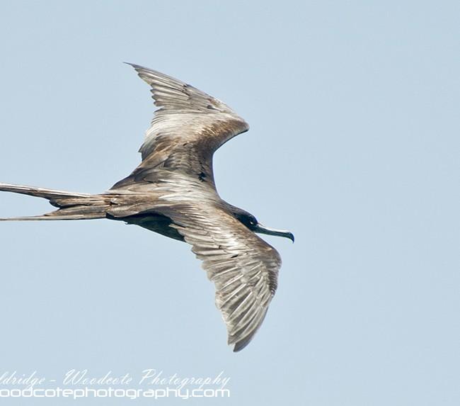 Magnificent Frigatebird – Mustique