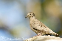 Ground Dove – Mustique