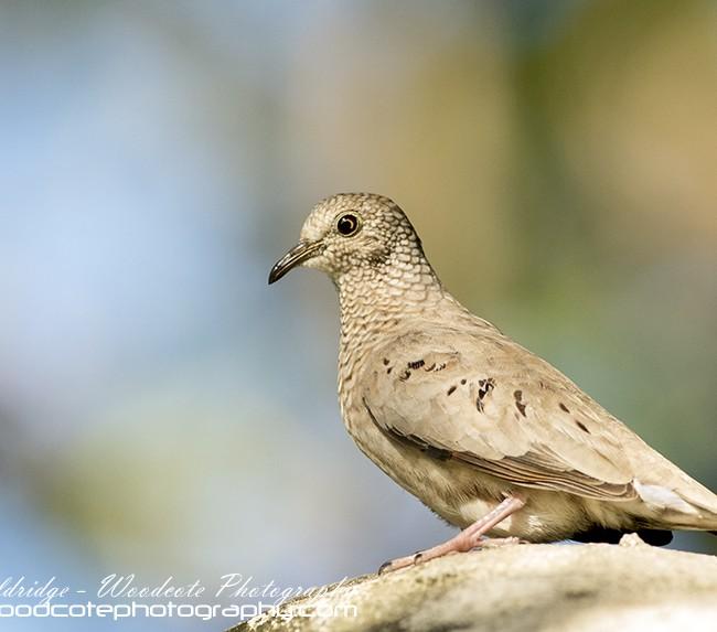 Ground Dove – Mustique