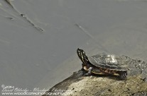 Juvenile Painted Turtle