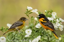 Baltimore Oriole Gallery